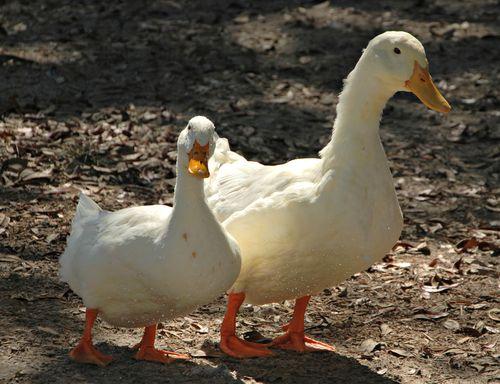 Duck pond 025