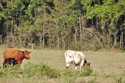 Cows 004