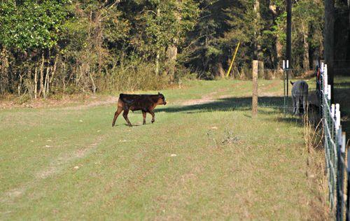 Cows 010