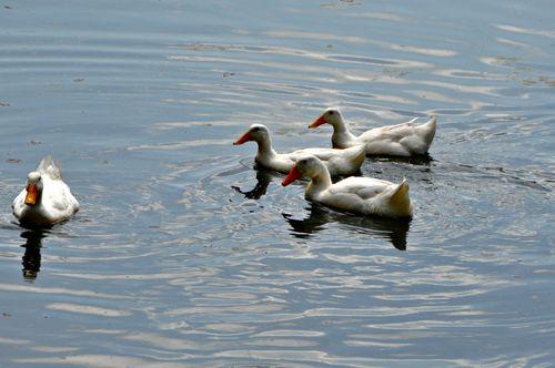 Ducks 008