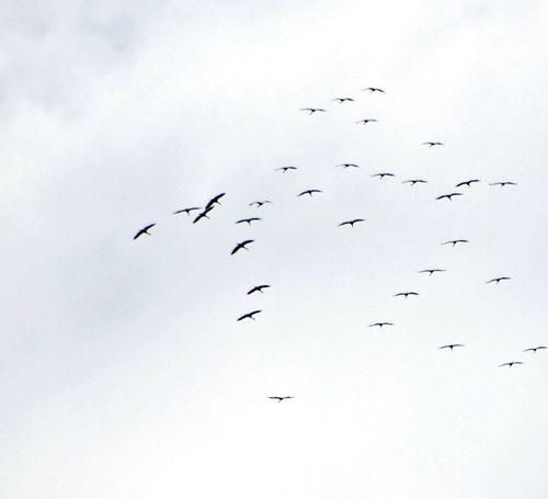 Cranes 002