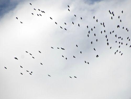 Cranes 004