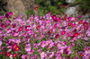 North_carolina_flowers_101207_009_9